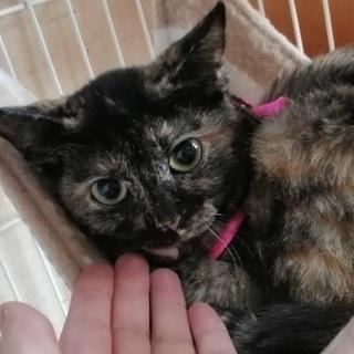 交渉中。ワクチン検査済みサビ猫わさびちゃん