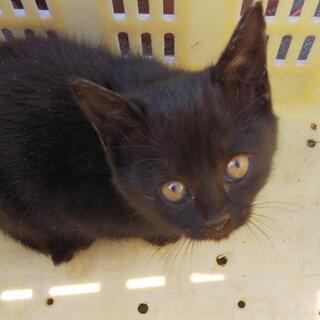 生後1ヶ月半ぐらい黒猫ちゃん里親募集中