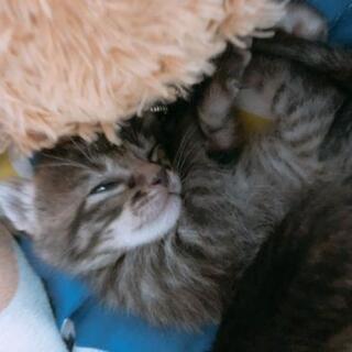 生後1ヶ月半虎柄子猫7匹里親募集!