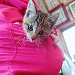 メス 仔猫 推定生後1ヶ月 トイレ出来ます