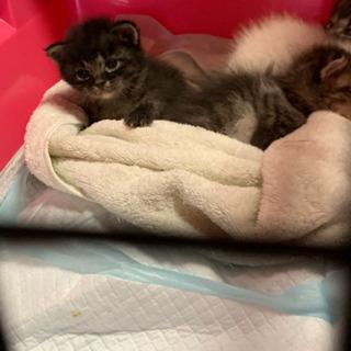 【里親募集中】とっても可愛い生後3週間の仔猫