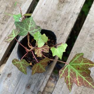 アイビー  へデラ 観葉植物 植物苗