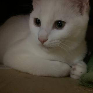 美猫です 白子猫4、5カ月ほど