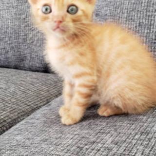 凄く可愛い茶トラの子猫ちゃんの里親募集💕穏やかな子猫ちゃんです。