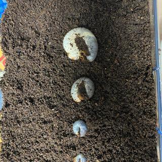 クワカブを幼虫から育ててみませんか?