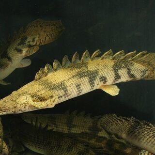 大きなサイズの古代魚、買い取り、引き取り、交換