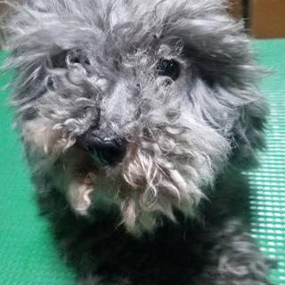 小さめシルバートイプードル♂6歳ミント ブリーダー引退犬