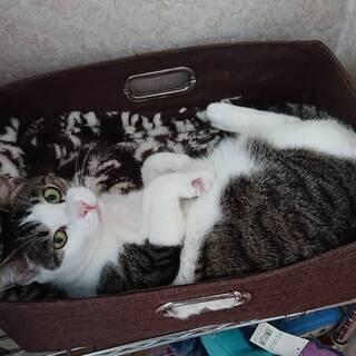 お利口なキジシロの保護猫お嬢様