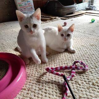 炭治郎、禰豆子と呼んでいます(笑)兄妹猫です。優しい飼い主さん探...