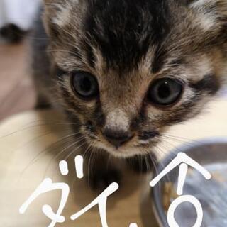 【終了しました】もうすぐ生後2ヶ月の猫3匹 里親募集します!