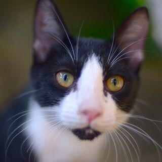子猫 ハチワレ黒白 オス 飼い主不在を確認済み