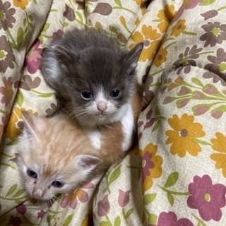 野良猫の仔猫 ⇒ ネズミ+白 生後1ヶ月弱