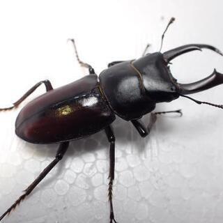 トカラコクワガタ幼虫(カブトムシ・クワガタ)