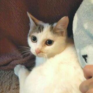 生後5ヶ月、かわいい白キジちゃん