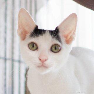 美猫♀4ヶ月♡猫初心者向けラビット