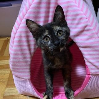 サビ子猫生後2か月半