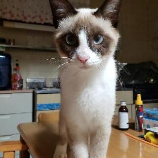 シャム猫Mix ブルーの目で可愛い女の子