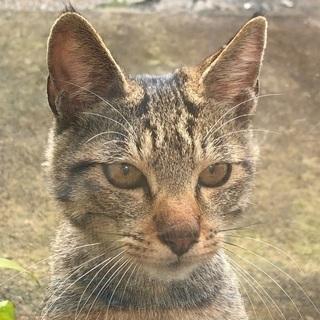 茶黒のトラ迷い猫飼い主探してます。