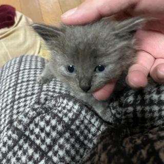 野良猫の仔猫 ⇒ 濃いネズミ色 生後1ヶ月弱