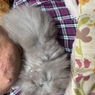 野良猫が産んだ仔猫 ⇒ 明るいネズミ色 生後1ヶ月弱