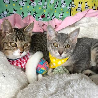 優しい姉妹猫 グレとグラ3ヶ月半