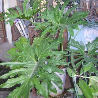 観葉植物(モンステラ)、高さ150くらいあります。