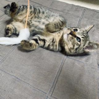 子猫 キジ 目がブルー!