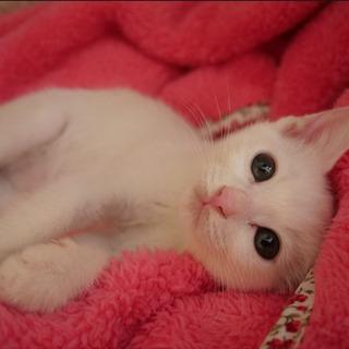 可愛い甘えん坊で元気な白猫ちゃんの里親募集!