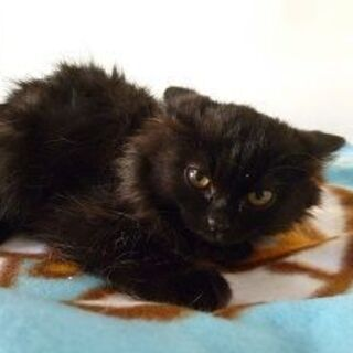 珍しい毛並みの可愛い西洋猫mix!