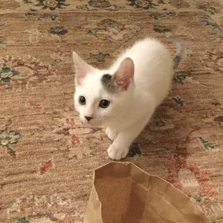 生後2ヶ月くらいの子猫(推定8月末生まれ)