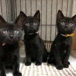 募集一時ストップします。黒猫三姉妹が優しい里親さんを待っています!!