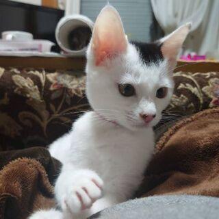 急いでいます。保護猫を迎えよう!!生後3ヶ月♀ - 松江市