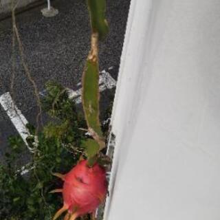 【南国植物】ドラゴンフルーツ 大苗 鉢植え【育てませんか?】