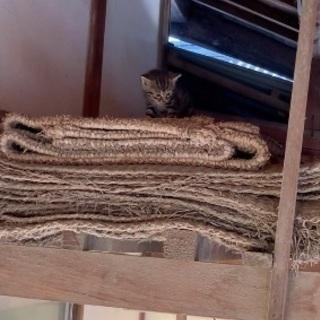 虎柄の子猫です!