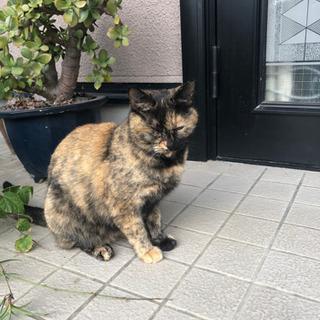 メスのサビ猫
