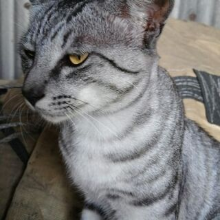 サバトラ猫♂大人の野良猫です。