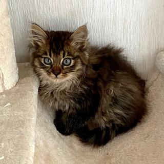 生後一か月半 長毛モフモフ子猫