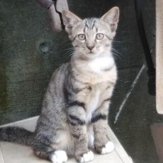 生後五か月の可愛いキジトラの女の子です。