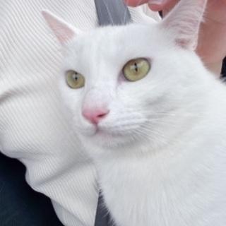 1歳3ヶ月の白いオス猫です✨