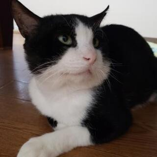 黒白ハチワレ猫ちゃん新しい飼い主さん募集しています!