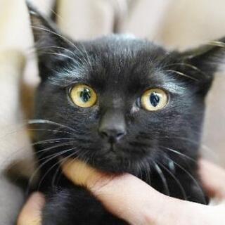 生後約2.5ヶ月の女の子  幸運を呼ぶ黒猫かぎしっぽちゃん