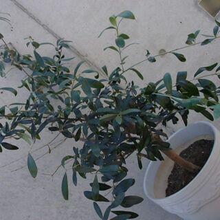 オリーブの木(B) 白陶器鉢