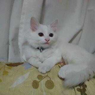 長毛の白猫ちゃん