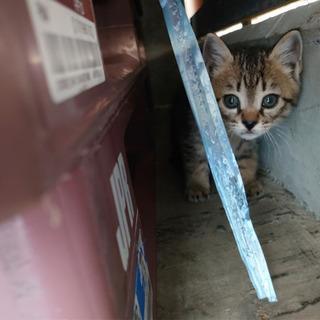 【里親決定しました】子猫キジトラ 里親募集 生後1ヶ月