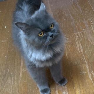 ブルーグレーの毛並みが綺麗な猫さんです♪(一時停止)
