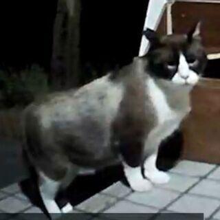 【動画付き】珍しいスノーシュー猫(オス 2-3才)