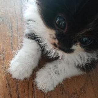 至急!1,5ヶ月の子猫(♂)