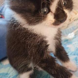 至急!!1,5ヶ月の子猫♂