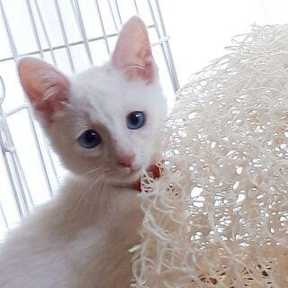 白猫「雪見」里親様募集