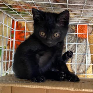 黒猫のオスの子猫です